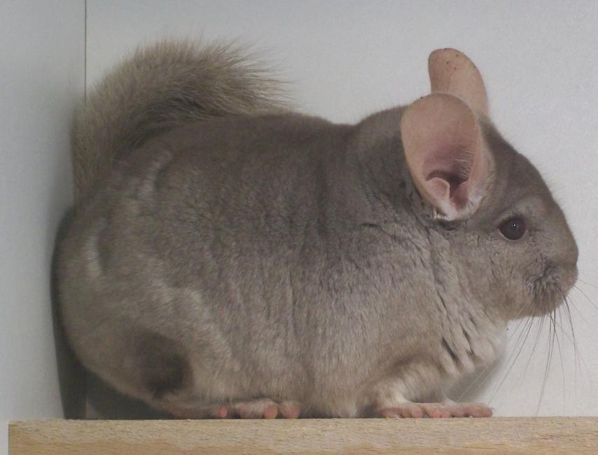 Fidji, chinchilla de mutation beige hétérozygote